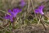 macro (kike.matas) Tags: canon canoneos6d sigma sigma105mf28exdgoshsm kikematas macro flores nature primavera encamp andorra andorre principatdandorra pirineos lightroom4 андорра