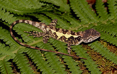 Japalura Lizard (cowyeow) Tags: agamidae agama japalura agamid lizard reptile reptiles herping herp herpetology china chinese chinareptile asia asian herps chinaherpetology mountain hunan mountains nature wildlife fern ferns
