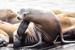 Just taking care of an itch! (Linda Martin Photography) Tags: sealions california usa sanfrancisco pier39 fishermanswharf coth naturethroughthelens coth5 ngc npc
