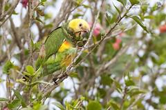 papagaio-galego - Yellow-faced Parrot / Alipiopsitta xanthops - São Roque de Minas - 08-07-12 (Jefferson Silva) Tags: wildlife aves birds brazilianbirds pássaros canastra alipiopsittaxanthops