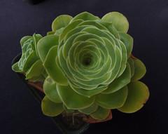 Aeonium dodrentale  (Willdenow) Mes, 1995