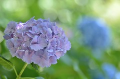 purple & blue (snowshoe hare*(mostly off)) Tags: hydrangea flowers hokongointemple kyoto 法金剛院 京都 紫陽花 アジサイ dsc0561