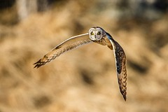Short-eared owl (tods_photo) Tags: ifttt 500px yellow birds bird eyes nature flight animal evening wildlife wings outdoors wild owl