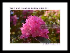 Fine-Art-Prints-Framed-DSC-2778 (fatima_suljagic) Tags: flowers fineartprints fatimasuljagicmelbourne framed prints artstudiomaja melbourne nature naturephotographer