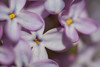 Clermont_170603-8199 (MaximeClermont) Tags: flower lilas lilac syringa