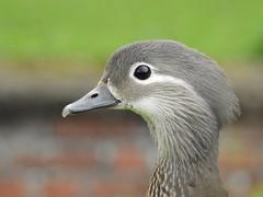 Mandarin duck (female) (PhotoLoonie) Tags: mandarinduck duck wildlife britishwildlife nature closeup portrait