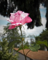 Ballerina (MissyPenny) Tags: rose pennsylvania pdlaich pink usa flower garden