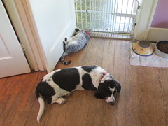 Pookie Chastised (frank kendrick) Tags: cat indoor basset