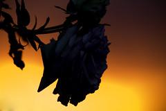 Silueta de la pequeña Rose (Renate Bomm) Tags: 7dwf 365 2017 anochecer atade atardecer canoneos6d ef200mmf28lusm flickrunitedaward jahreszeit juni landscape landschaft paisaje project365 projekt365 renatebomm sol sonne sonnenuntergang sun macromondays hmm macro photography silhouet silhouette golden rose roses flores flower freetheme yellow gold gelb