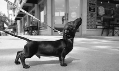 Hot Dog, Downtown Wheaton. 2 (X70) (Mega-Magpie) Tags: fuji fujifilm x70 downtown wheaton wiener dog pet street cute funny il illinois usa america bw black white mono monochrome
