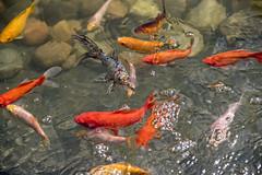 Goldfish in my garden - Norway (Ingunn Eriksen) Tags: goldfish goldfishpond pond nikond750 nikon