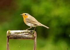 Robin on a spade 1 (Simon Dell Photography) Tags: robin spade handle garden uk old english bird nature england great britain favorite simon dell photography