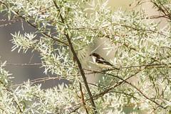 BirdID WP Bulgaria 2017 (_alcedo_) Tags: birdidwpbulgaria2017 birds borisbelchev bulgaria laniidae laniussenator madzharovo nature shrikes songbirds woodchatshrike biodiversity breeder migrant passerines wwwalcedowildlifecom