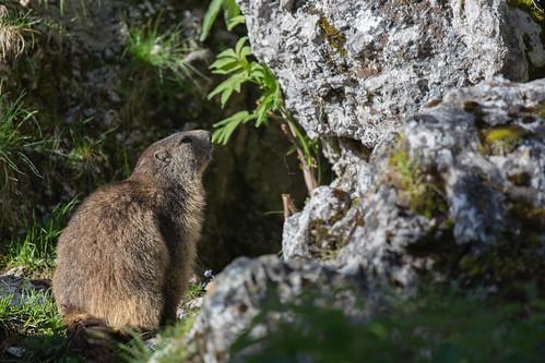 Marmotte dans l'Alpette (massif de la Chartreuse)