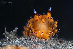 Janolus sp. (Randi Ang) Tags: janolussp janolus nudi nudibranch seaslug padang bai bali indonesia underwater scuba diving dive photography macro randi ang canon eos 6d 100mm randiang