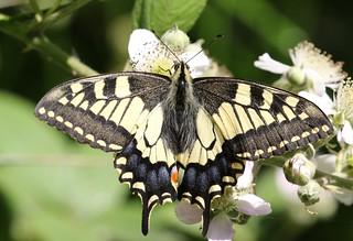 Swallowtail ~ Papilio machaon britannicus ~ How Hill (8)
