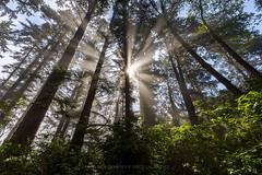 Patrick's Light (Bob Bowman Photography) Tags: forest light rays trees humboldt fog mist green california