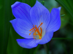 P1050942 (Osirisba2112) Tags: crocus spring lumix blue