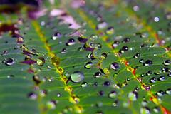 Dew on Sleepy Leaves (kevin_art) Tags: sleepyplant senstiveplant shyplant mimosoideae mimosa dripsdropsandsplashes macromondays hmm happymacromondays