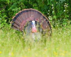 Wild Turkey (Somuchtwosay) Tags: turkey wild animal outdoors nature bird male nikon nikkor spring june birding wildlife field nj newjersey d500
