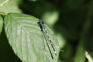 Variable Damselfly ~ Coenagrion pulchellum ~ How Hill (3)
