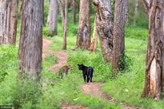 The Ghost (subhramani) Tags: blackpanther kabini nagarhole indianwildlife saveourwildlife leopard jlr subhramaniphotography subhramani canon 5d 400mm f56 canon5dmark3 wilderness woods pantherapardus junglelodgesresort junglelodges karnataka