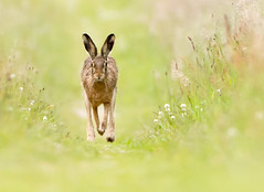 Running Brown Hare (Wouter's Wildlife Photography) Tags: brownhare hare lepuseuropaeus animal mammal rodent nature naturephotography wildlife wildlifephotography running billund grass green explore
