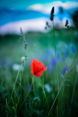 """Make our planet great again"" (philippe.schoen) Tags: champs rouge coquelicot fleur makeourplanetgreatagain planet twilight bokeh fields field hoerdt alsace red poppyred poppy flowers flower nature fx d750 nikon"