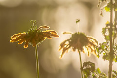 good light (Robert Borden) Tags: goodlight orange green backyard earlymorning santaclarita california socal southerncalifornia southwest west canon canonrebel canonphotographer