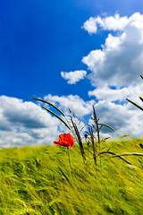 Mohn im Kornfeld (hermelin52) Tags: deutschland germany nrw ruhrgebiet essen stadtessen überruhr essenüberruhr sommer kornfeld himmel mohn blüte wildpflanze pflanze flora klatschmohn