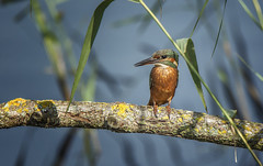 Female Kingfisher (Osgoldcross Photography) Tags: kingfisher femalekingfisher perched wet feeding sun sunlight branch wood lichen reeds water plumage cyan orange cobalt wings beak head female rspb rspboldmoor nikon nikond7100 raw nature naturalhistory summer latesummer