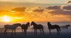 3-3957 (Jami Bollschweiler Photography) Tags: wild horse photography horses wildlife utah west desert onaqui herd great basin herds
