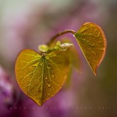 Hearts and blossoms (Franci Van der vyver (Carmen Tulum)) Tags: redbud redbudleaf judastree heart heartleaf blossom redbudblossom