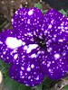Starry Flower (PokeMama) Tags: starrynightpetunia galaxypetunia galaxyflower our flower blossom bloom purpleflower fantasyflower petunia