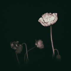 """""""Papped Poppy"""" (helmet13) Tags: d800e raw bw flora nocturne nightshot flower blossom papaver poppy aoi heartaward peaceaward world100f 100faves"""