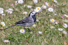 Pied wagtail (Happy snappy nature) Tags: piedwagtail daisies bird beautiful flower nature wildlife shropshire sunnyday outdoors