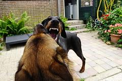 Play (Marja S) Tags: dobermann germanshepherd dog play friend