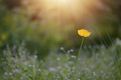 Gold.. (KissThePixel) Tags: gold yellow yellowflower sunlight sun light garden flower flowers cottage cottagegarden summer summerdays summerlight bokeh macro nikon nikondf aperture 14 f14 meadow depthoffield dof dofalicious dreamy 85mm