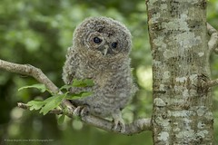 Tawny Owlet (Steven Mcgrath (Glesgastef)) Tags: tawny owlet owl bird prey raptor glasgow scotland uk wildlife nature robroyston urban scottish wild natural fledge fledgeling chick young