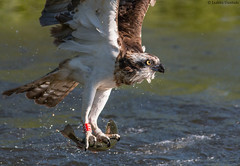 Osprey (uusija) Tags: pandionhaliaetus bird kalasääski linnut luonto nature osprey petolintu sääksi