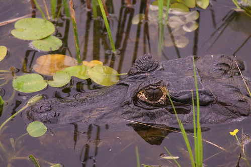 brazil-pantanal-caiman-lodge-caiman-eye-copyright-thomas-power-pura-aventura