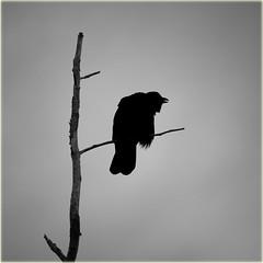 angry crow (marneejill) Tags: angry crow silhouette profile