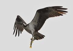 Osprey (kearneyjoe) Tags: osprey