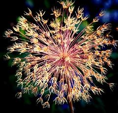 Explosion (barbara_donders) Tags: explosie natuur nature flower bloem inbloei wildflower wildebloem verdord stekels pink roze green groen spring lente uitgebloeid flowerhead stengel garden tuin mooi prachtig beautifull magical art artistic artistiek kunst