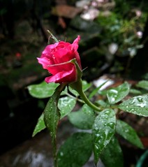 Blooming rose 🌹 (Ifti Akhand) Tags: rose blooming beautiful beaty beautyofnature beautyqueen pink focus green