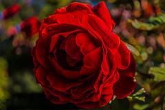Memories won't go away (Hanna Tor) Tags: nature flower plant rose macro hannator red bokeh color memories closeup garden