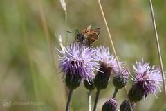 moth (photos4dreams) Tags: gersprenz26062017p4d gersprenz münster hessen germany naturschutz nabu naturschutzgebiet photos4dreams p4d photos4dreamz nature river bach flus naherholung