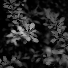 Thicket Details 024 (noahbw) Tags: d5000 dof nikon potawatomiwoods abstract blackwhite blackandwhite blur bw depthoffield forest leaves light monochrome natural noahbw shadow spring square woods