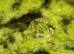 Grenouille rieuse (jean-daniel david) Tags: grenouille batracien vert étang eau animal nature frog mimétisme amphibien