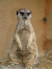P1010308-2.jpg (fatwaller) Tags: france nature mamifère surricate saintjeandemonts vendée europe terrestre animal